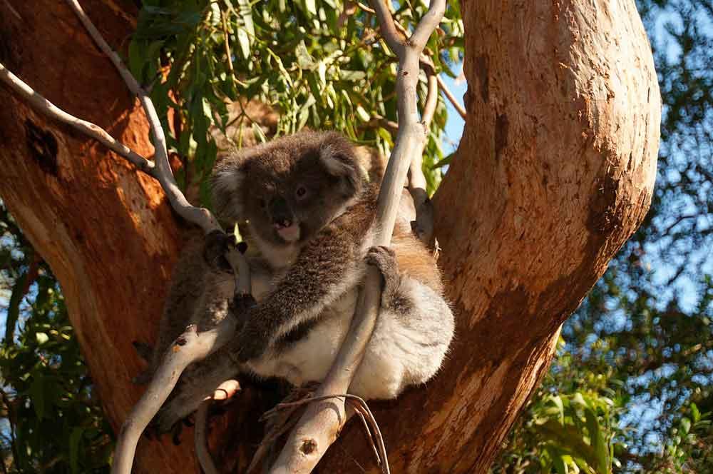Koala-Phillip-Island