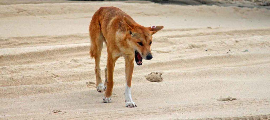 dingo-en-fraser-island